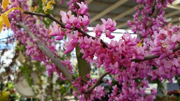 5 Small Blooming Trees For Urban Spaces Roundtree Landscaping