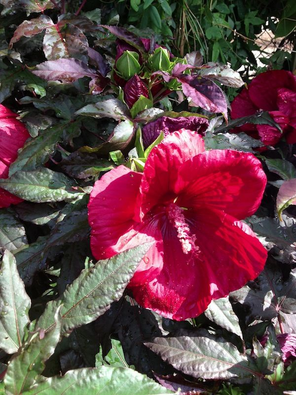 Hardy Hibiscus Tropical Looks With Perennial Style Roundtree