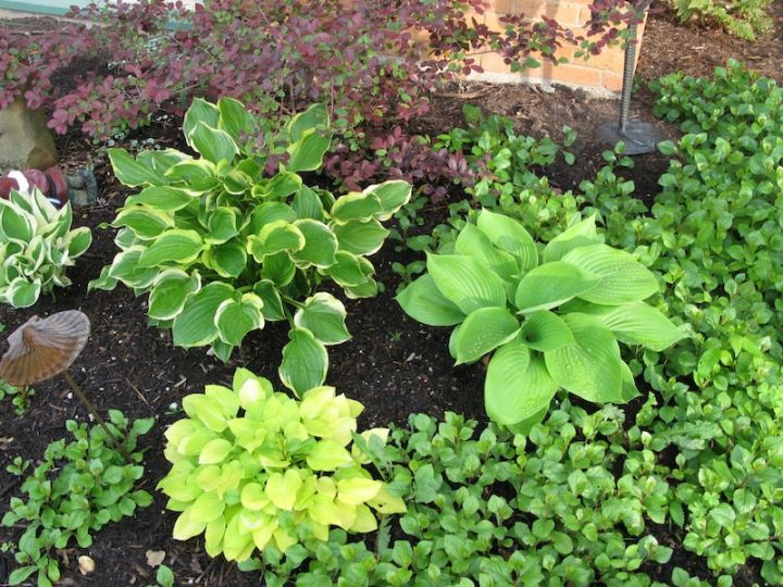Got Shade Grow Hostas Roundtree Landscaping Dallas Tx