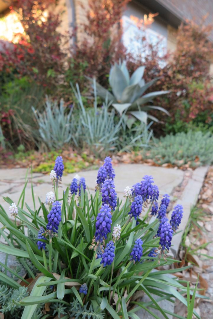 Texas Tough Spring Perennial Flowering Bulbs Roundtree